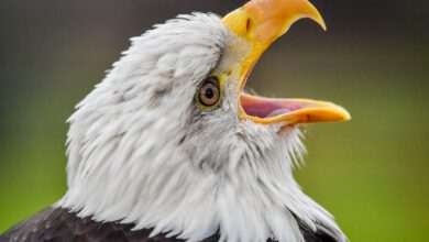 Photo of Bald eagle usually takes out EGLE's drone for the reason that it's 2020 and irony is dead